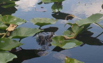 Alligatorer i Everglades. Bästa platserna att se alligatorer.